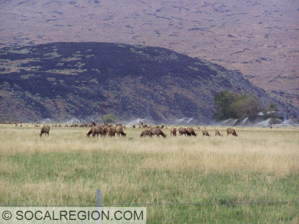 Elk grazing in the reserve to the east of current US 395 near Fish Springs.